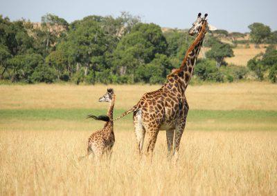 oryx_giraffe