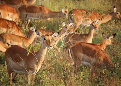 oryx_springbok_group