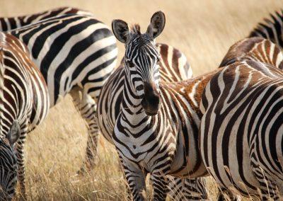oryx_zebra